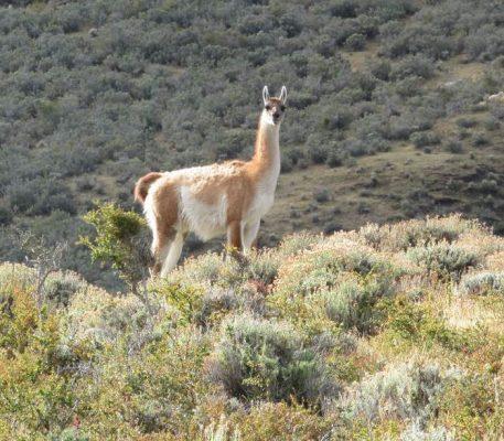 02.- Guanaco (Lama guanicoe)-v2