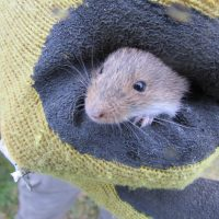 03.- Ratón Oliváceo capturado en trampa Sherman (Abrothrix olivaceus)-v2